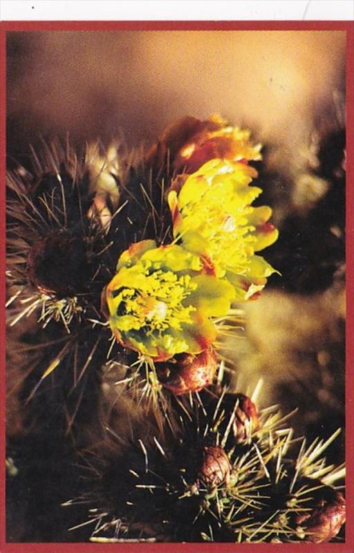 Cholla Cactus Barstow California