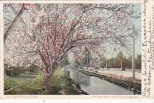 California San Diego Almond Trees In Bloom 1906 Detroit Publishing