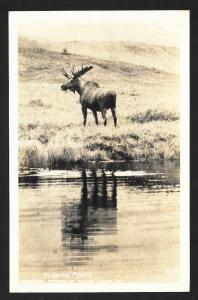 Alaskan Moose Mt McKinley National Park RPPC unused c1940's