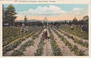Strawberry Picking, Hood River, Oregon, 1910-1920s