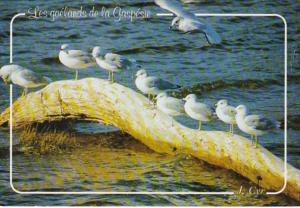 Canada Seagulls Along The Gaspe Coast