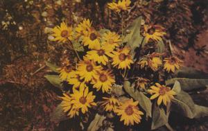 Yellowstone National Park Wildflower, 50-60s ; Balsamroot
