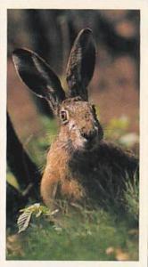 Grandee Vintage Cigarette Card Britains Nocturnal Wildllife No 3 Brown Hare
