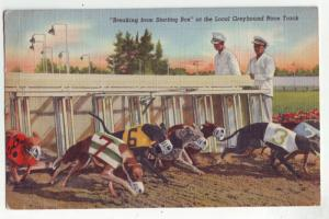 P1125 old used postcard close up greyhounds breaking starters box dog race FL.