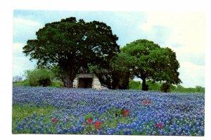 TX - Stonewall. Lyndon B. Johnson State Park, Bluebonnets