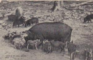 Pigs Feeding Meals At All Hours 1909