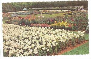 Bermuda Easter Lilies At The Government Agricultural Station, Paget, Bermuda,...