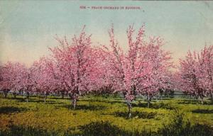 Peach Orchard in Blossom,00-10s