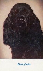 Black Cocker, 1940-60s