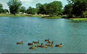 Minnesota Rochester Ducks Swimming On Silver Lake
