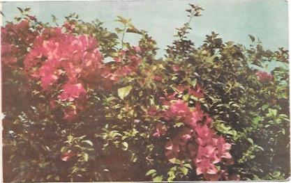 Mexico Flowers at the Hotel Ruiz Galindo.  1955
