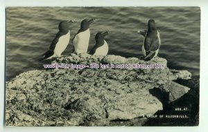 an0191 - A Group of Razorbills, on Rocks by the Sea, ARK.42 - postcard