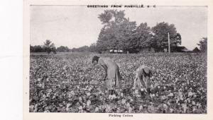 PINEVILLE , South Carolina, 1930s ; Black women picking Cotton