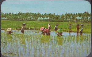 MALACCA Malaya  RICE FIELD .. people working the flooded rice 1950s