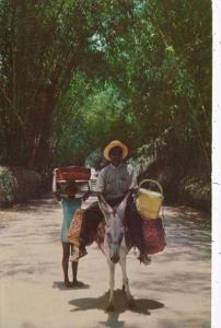 Jamaica Man On Donkey Local Transportation Through Bamboo Grove 1959