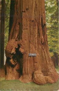 Jumbo Redwood Tree Santa Cruz California CA Postcard