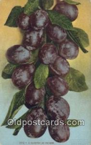 Cluster of Prunes Farming Postcard Post Card  Cluster of Prunes