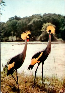 Afric an Fauna Tufted Cranes Postcard used 1975 Kenya