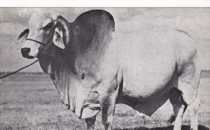 Emperor Twice Grand Champion Brahman Bull of Florida , 1930s