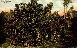 Florida Grape Fruit Tree Bearing Fruit 1910
