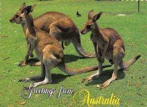 Greetings from Australia Kangaroo Animals Postcard