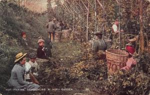Hop picking commencing a hop garden Postcard