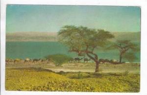 Caravan of camels by Dead Sea, Israel, 40-50s