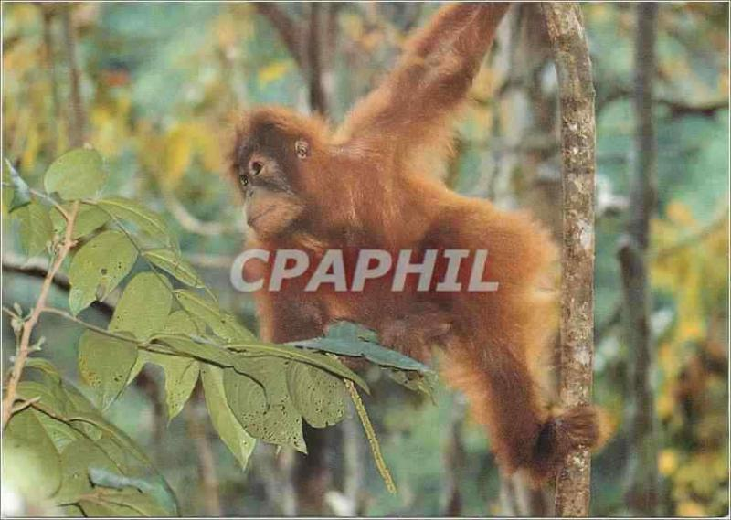 CPM Orangutan the Orangutan is active by Day and spends most of its time in the