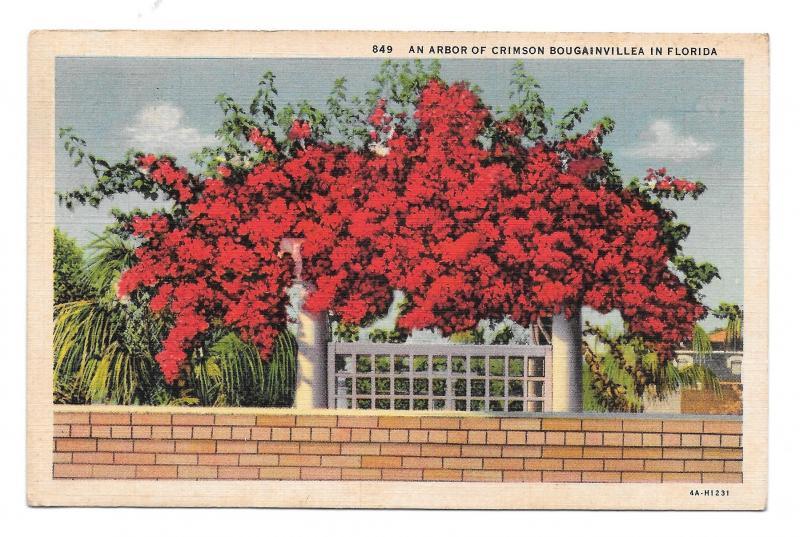 Florida Arbor of Crimson Bougainvillea Flowers Vintage Postcard