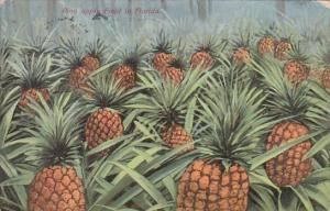 PIneapple Field In Florida 1909
