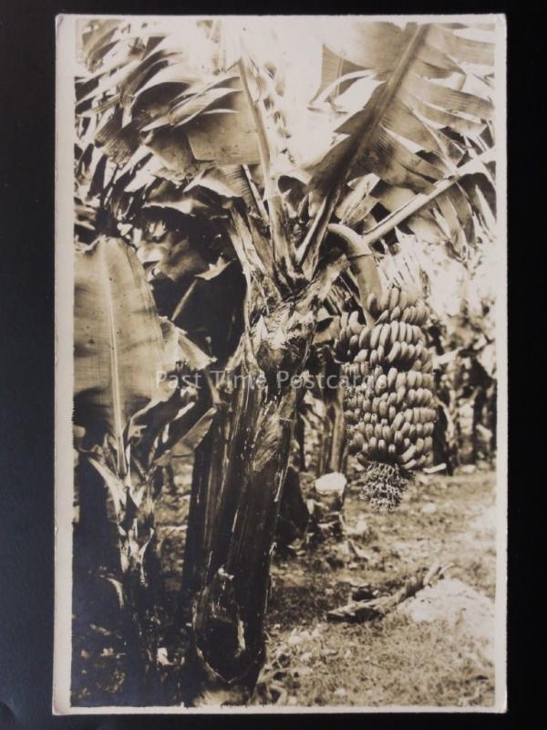 MARTINIQUE The Martinique Banana - Old RP Postcard