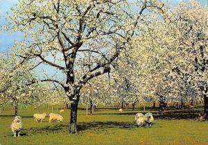 A Kentish Cherry Orchard Trees Sheeps