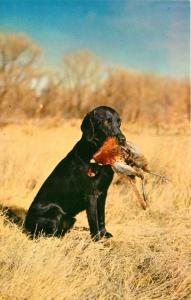 Black Lab Labrador Retriever Hunting Dog Retrieving Fowl Postcard