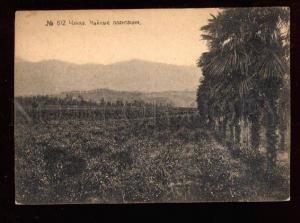 025335 CAUCASUS BATUM Plantations of tea in CHAKVA Vintage PC