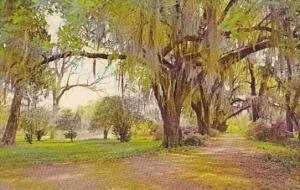 Spanish Moss Oak Trees and Azaleas In Louisiana