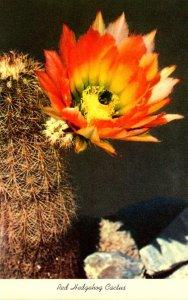Red Hedgehog Cactus In Bloom
