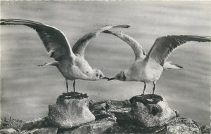 Switzerland Leman lake seagulls pair Postcard