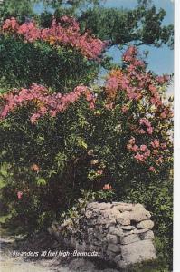 Oleanders 20 feet high, Bermuda, 00-10s