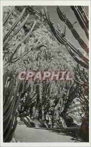 Old Postcard Exotic Garden of Monaco Grandicornie Euphorbia Euphorbia and var...