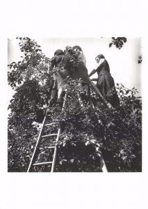 Postcard Saving Britain's Plum Crop 1942 WW2 by Bill Brandt #57024