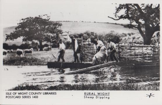 Sheep Dipping Isle Of Wight Farming Real Photo Rare Rural Library Postcard