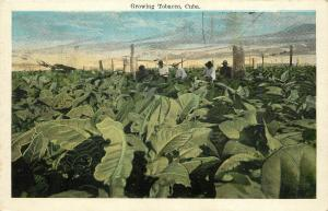 Vintage 1915-1930 Printed Postcard Growing Tobacco in Cuba Unposted