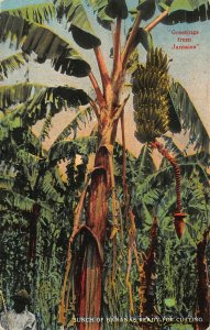 Jamaica Greetings from, Bunch of bananas ready for cutting Postcard