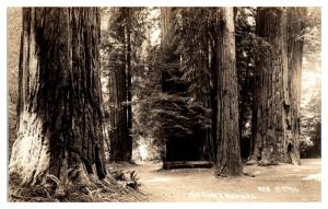 RPPC Mill Creek Redwoods, Del Norte Coast State Park, CA Real Photo Postcard