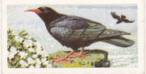 Trade Cards Brooke Bond Wild Birds in Britain No3 Chough