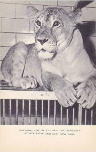 New York Staten Island Zoo Sultana One Of The African Lionesses Artvue