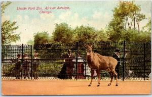 Chicago Illinois Postcard Lincoln Park Zoo, African Antelope c1910s Unused