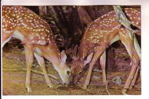 Deer, White-Tail Fawn, Maine, Photo David Russell Walker