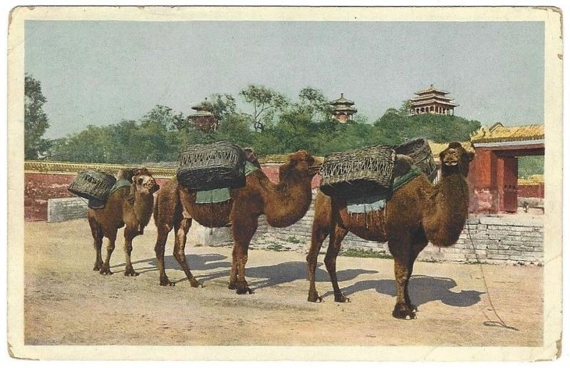 China vintage postcard Coal Hill Peking with camels