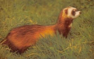 Polecat, survives in Wales, and Continent, Wild Animals, Fauna, Postcard